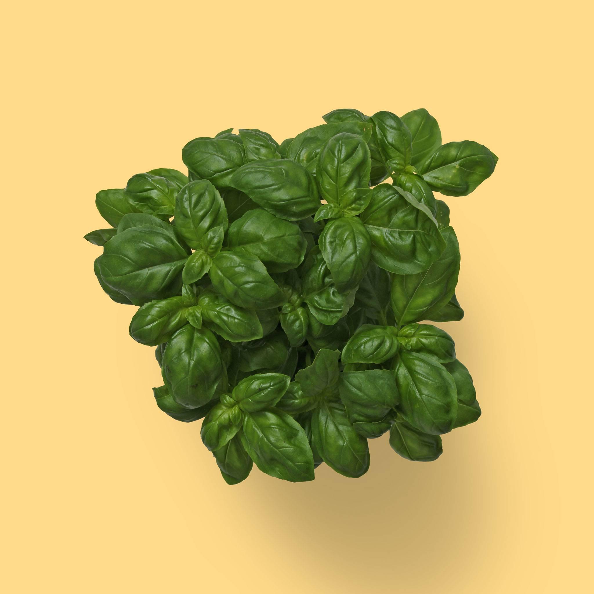 Frisk basilikum krydderurt
